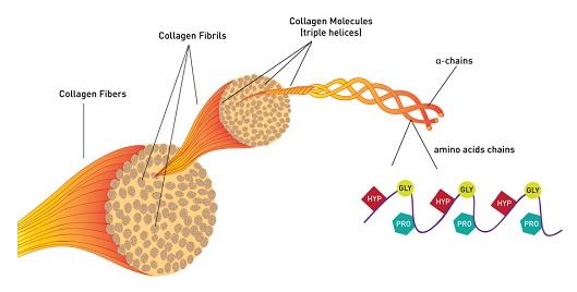 1. Collagen là gì? 1