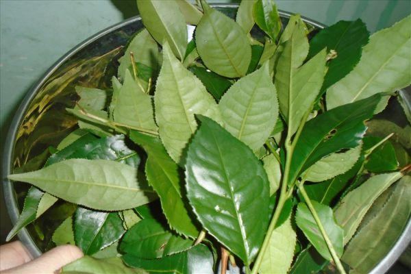 Dùng nước lá trà xanh để giảm sưng và ngứa