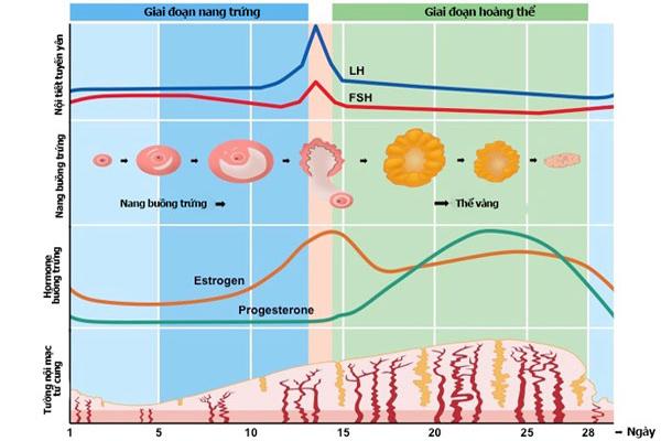 Các vấn đề tiêu hóa liên quan đến sự thay đổi hormone 1