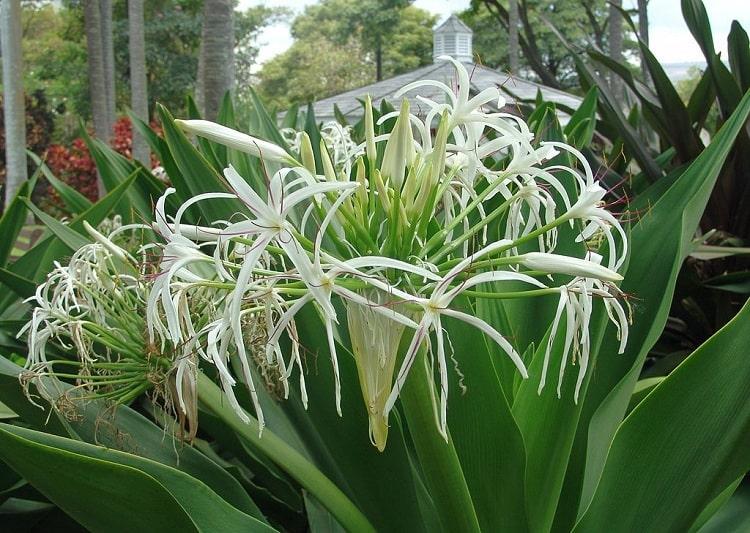 Náng hoa trắng 1